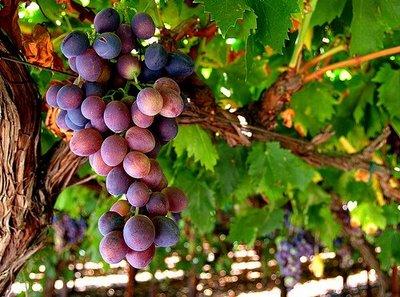 vinebranchgrapes